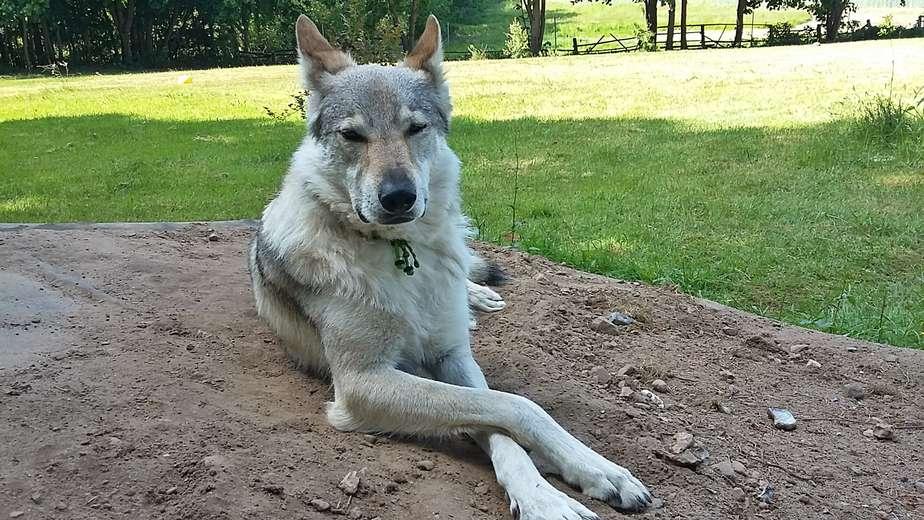 Hund aus 2. Hand - unser Wölfchen